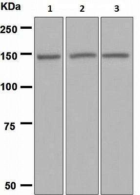 Western blot - Jagged 2 antibody [EPR3646] (ab109627)