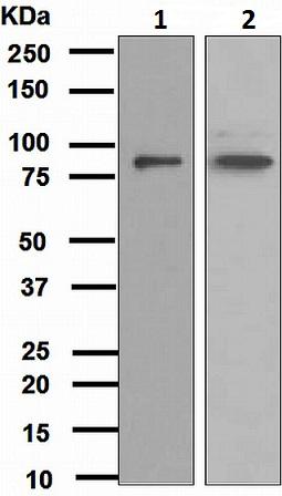 Western blot - GOLPH2 antibody [EPR3606] (ab109628)