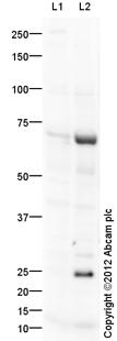 Western blot - Anti-c-Myb antibody (ab109633)
