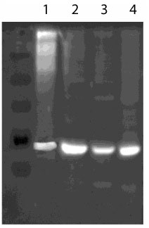 Western blot - Hsp60 antibody (ab109660)