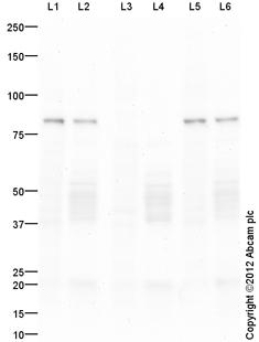 Western blot - Anti-TrkB (phospho Y515) antibody (ab109684)