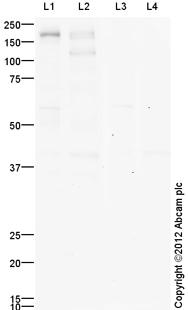 Western blot - Anti-EGFR (phospho Y845) antibody (ab109685)