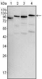 Western blot - B Raf antibody [1H12] (ab109688)