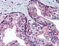 Immunohistochemistry (Formalin/PFA-fixed paraffin-embedded sections) - MARCH8 antibody (ab109690)