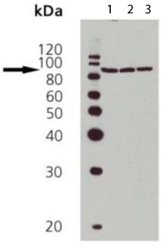 Western blot - Hsp90 antibody (ab109704)