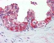 Immunohistochemistry (Formalin/PFA-fixed paraffin-embedded sections) - Hsp90 antibody (ab109704)