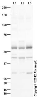 Western blot - Anti-TRIM5 alpha antibody (ab109709)