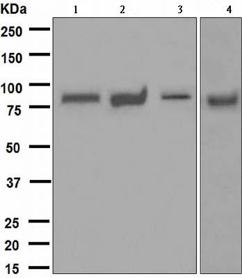 Western blot - MALT1 antibody [EPR604] (ab109724)