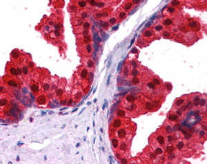 Immunohistochemistry (Formalin/PFA-fixed paraffin-embedded sections) - NDRG1 antibody (ab109733)