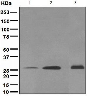 Western blot - Myelin oligodendrocyte glycoprotein antibody [EP4281] (ab109746)