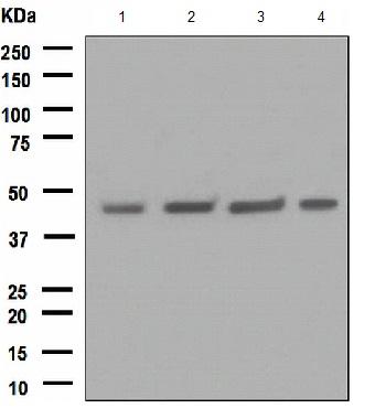 Western blot - FNTB antibody [EPR4706] (ab109748)
