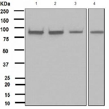Western blot - IKK alpha antibody [EPR464] (ab109749)