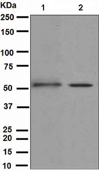 Western blot - Kir2.1 antibody [EPR4530] (ab109750)