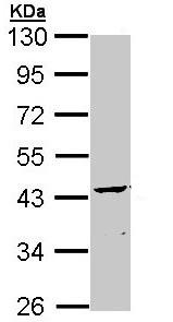 Western blot - CNPase antibody (ab109758)