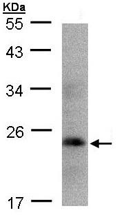 Western blot - Human Growth Hormone antibody (ab109759)