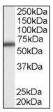Western blot - DDX5 antibody (ab109764)