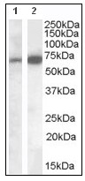 Western blot - Cell adhesion molecule 4 antibody (ab109767)
