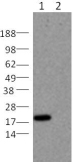 Western blot - Bid antibody [1H11] (ab109796)