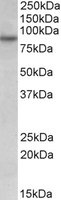 Western blot - RUFY1 antibody (ab109804)