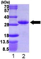 SDS-PAGE - RND1 protein (His tag) (ab109840)