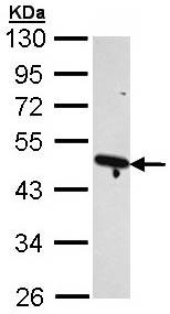 Western blot - Arp2 antibody (ab109856)