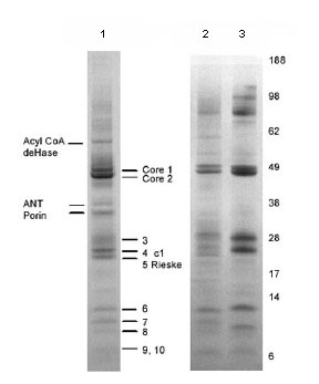 Immunoprecipitation - Complex III Immunocapture antibody [11A51H12] (ab109862)