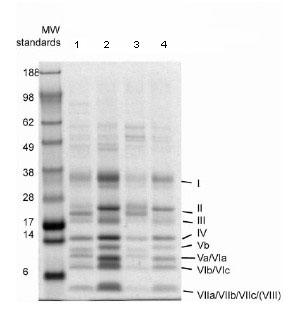Immunoprecipitation - Complex IV Immunocapture antibody [31E91B82G9] (ab109863)