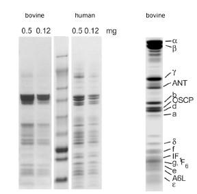 Western blot - ATP synthase Immunocapture antibody [12F4AD8AF8] (ab109867)