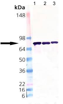 Western blot - ERp72 antibody (ab109869)