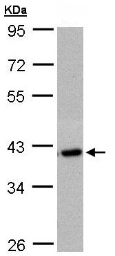 Western blot - C2orf24 antibody (ab109871)