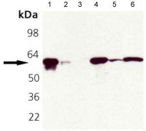Western blot - Hsp60 antibody (ab109873)