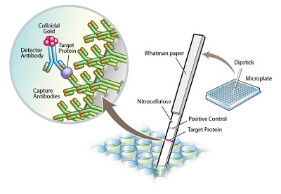 Sandwich ELISA - MetaPath™ Fatty Acid Oxidation 4-Plex Dipstick Array (ab109880)