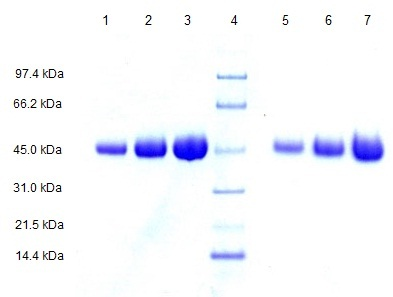 SDS-PAGE - Alpha 1 Acid Glycoprotein protein (ab109930)
