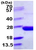 SDS-PAGE - ppa protein (ab109942)