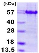 SDS-PAGE - Human ATF-4 full length protein (ab109946)