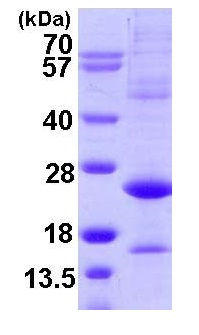 SDS-PAGE - ATF3 protein (ab109950)