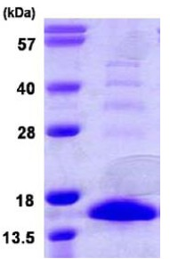 SDS-PAGE - S100A9 protein (ab109951)