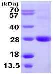 SDS-PAGE - ARL11 protein (ab109953)