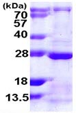 SDS-PAGE - RAB13 protein (ab109958)