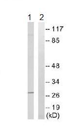 Western blot - ELOVL5 antibody (ab109983)