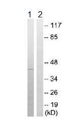 Western blot - KCNK15 antibody (ab109985)