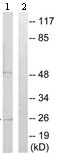 Western blot -    DCL-1  antibody (ab109991)