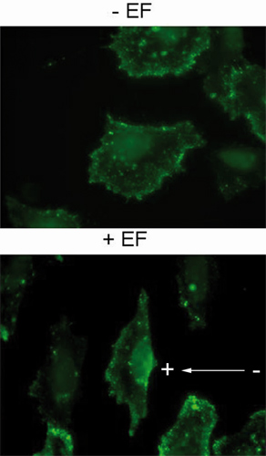 Immunocytochemistry/ Immunofluorescence - Anti-PIP2 antibody [2C11] (ab11039)