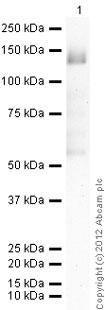 Western blot - Anti-Mps1 antibody [N1] (ab11108)