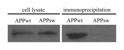 Western blot - Anti-beta Amyloid antibody [DE2B4] (ab11132)