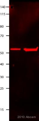 Western blot - beta Tubulin antibody [TUB 2.1] (Cy3 ®) (ab11309)