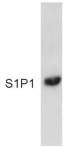 Western blot - EDG1 antibody (ab11424)