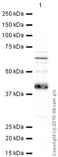 Western blot - HLA E antibody [MEM-E/08] (ab11821)