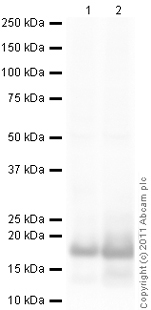 Western blot - Histone H3 (di methyl K4) antibody - ChIP Grade (ab11946)