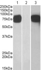 Western blot - GOLPH2 antibody (ab110008)